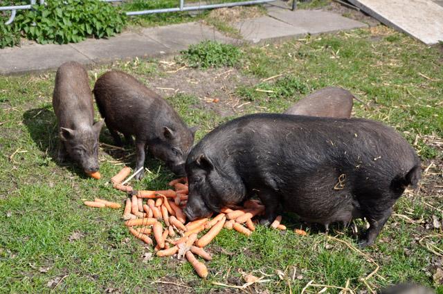 die kleinsten schweine der welt